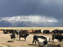 grooving a cow yard in colorado